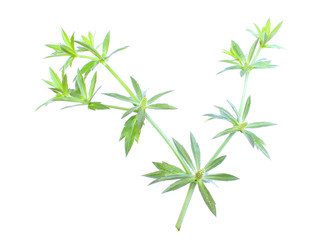 Thai coriander