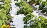 Closeup of curly kale with snow