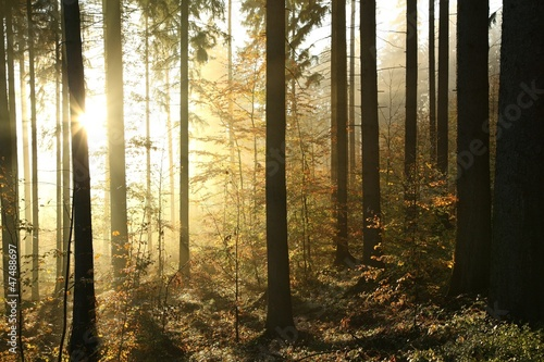 Autumn coniferous forest on a foggy morning