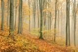 Autumn beech forest surrounded by mountain mist - 47489079