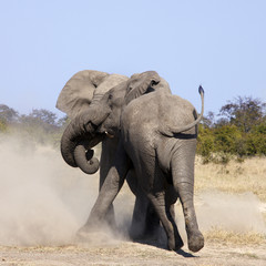 Two Elephants fighting in the Savuti region of Botswana