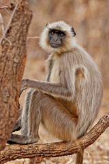 Gray Langur in the Bandhavgarh National Park in India