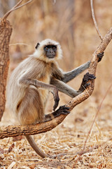 Gray Langur in the Bandhavgarh National Park in India.