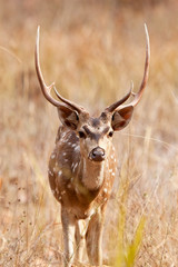 Chital deer in the Bandhavgarh National Park in India
