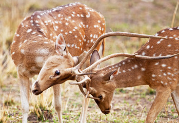 Chital deers in the Bandhavgarh National Park in India
