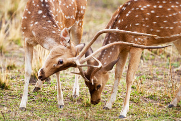 Chital or cheetal deers (Axis axis)