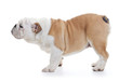 english bulldog dog standing, profile full length