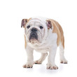 English bulldog dog standing