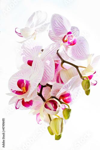 Fototapeten,orchidee,orchidee,blume,pflanze