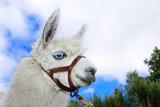 White, sad furry lama glama with long eyelashes poster