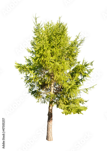 green isolated larch tree