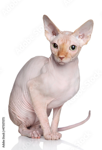 Sphynx cat on white background