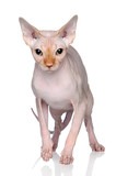 Sphynx cat on a white background