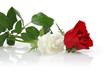 White Rose and Red Rose