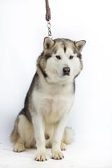 Alaska sled dog