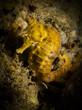 Common Seahorse - Hippocampus taeniopterus