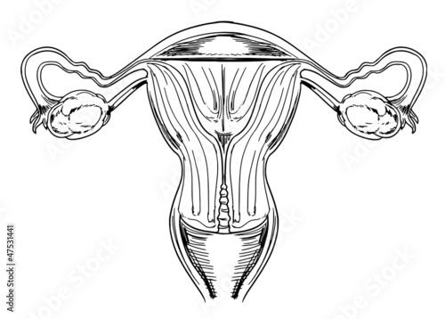 Внутренних женских половых органов - Векторная иллюстрация #16809429.