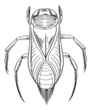 Water beetle outline