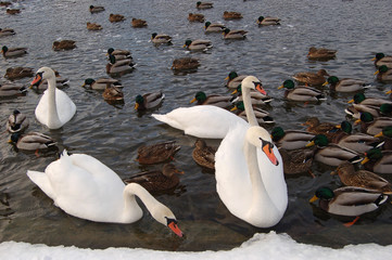 swans in winter1