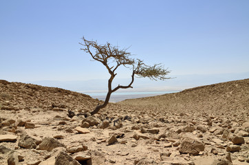 Alone acacia tree in Judea desert.