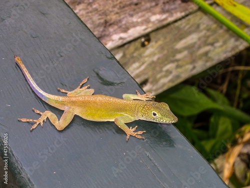 Jamaican Anole (Anolis grahami) an introduced species in Bermuda