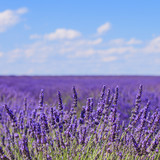 Fototapety Lavender flower blooming fields horizon. Valensole Provence, Fra
