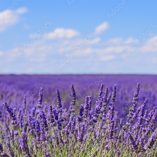 Lavender flower blooming fields horizon. Valensole Provence, Fra - 47536416