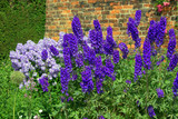 Blue delphinium and campanula  flowers in a summer garden.