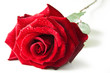 Single red rose flower