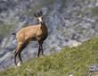 Caucasian Chamois buff or goat-antelope Rupicapra rupicapra
