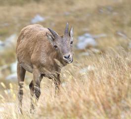 caucasian goat Capra caucasica