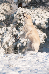 golden retriever dog jumps up in the snow