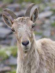 caucasian goat Capra caucasica portrait female