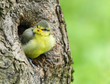 Cute birdie in the nest.The Blue Tit (Cyanistes caeruleus).