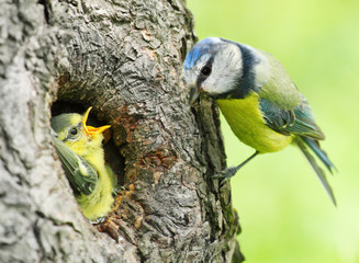 The Blue Tit (Cyanistes caeruleus) feeding her young one.