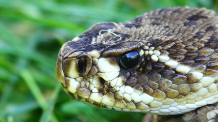 Eastern DIamondback Head Closeup