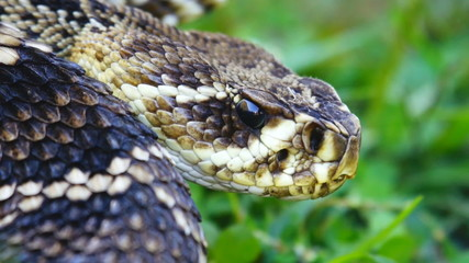 Eastern Diamondback Closeup Tongue Flicker