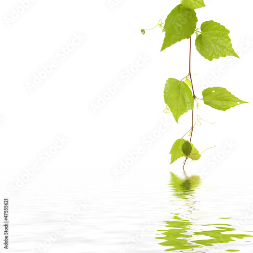 Green ivy with reflection