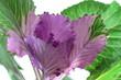 薄紫の葉牡丹のアップ