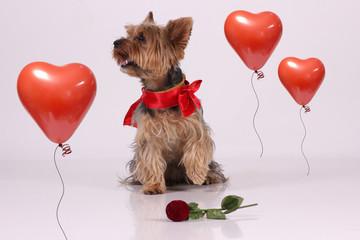 Valentine yorkshire dog whit rose