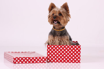 yorkshire puppy in red white dotted box