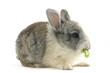 Close up rabbit eat vegetable leaf