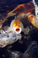 Carpes koi nageant sous la surface de l'eau
