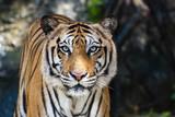 The big Bengal tiger