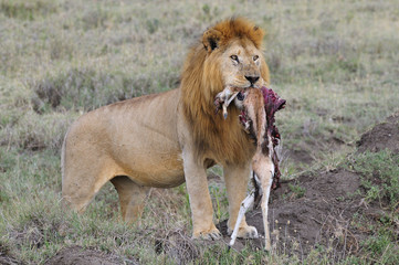 Lion standing with a prey