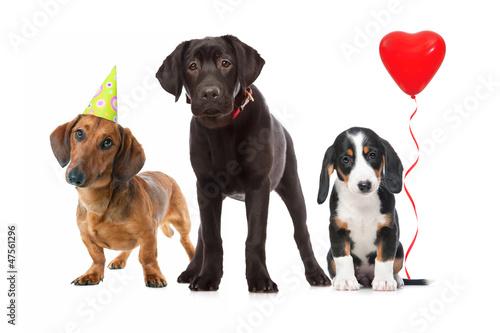 Hunde Welpen feiern Party