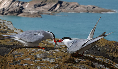 Arctic Tern receiving Catch