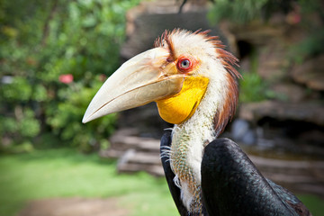 Male Hornbill in nature surrounding on Bali