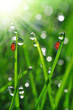 Fresh morning dew on a spring grass and little ladybug