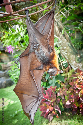 Bat hanging upside down. Bali, Indonesia.